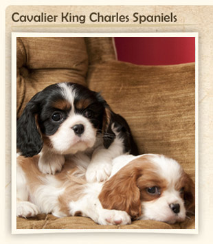 Pity, Adult cavalier king charles spaniels for sale