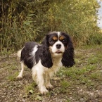 Cavalier King Charles Spaniel Female