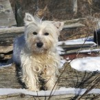 West Highland Terrier Females