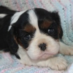cavalier king charles spaneil puppy