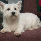 West Highland Terrier Males