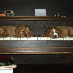 Puppies-for-sale-(3)