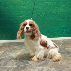 Cavalier King Charles Spaniel Blenheim Female
