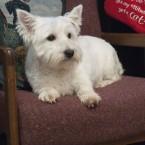 West Highland White Terrier Female
