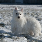 West Highland White Terrier female