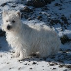 West Highland White Terrier Feale